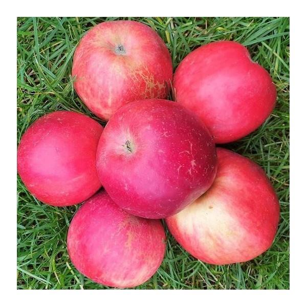 Jabłka Naidared EKO